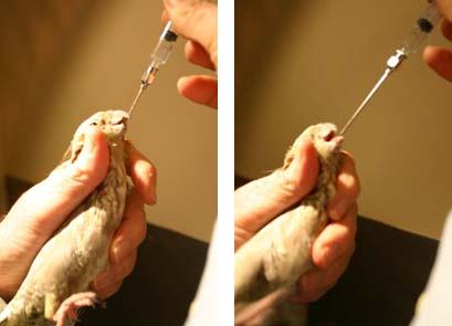 CARA MEMEGANG BURUNG ( avianweb )