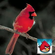 foto burung angry bird asli