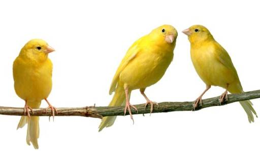canaries (1)
