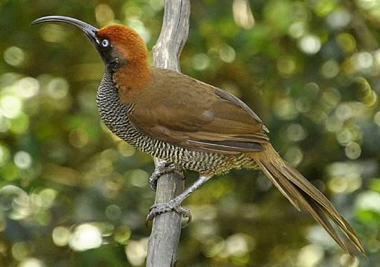 Burung betina: Punggung berwarna cokelat tua.