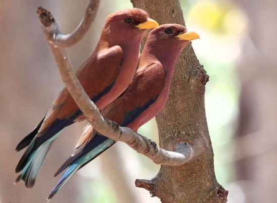 Burung cinnamon roller