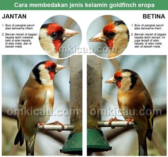 Cara membedakan goldfinch eropa jantan dan betina.