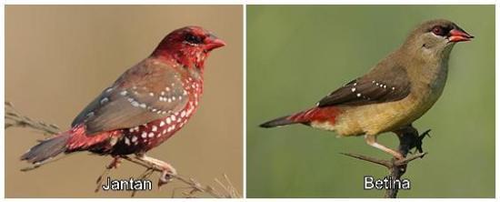 Perbedaan burung jantan dengan burung betina pada saat masa kawin