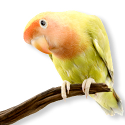 lovebird ob