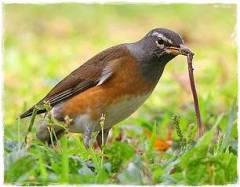 Burung yang gemar makan cacing tanah