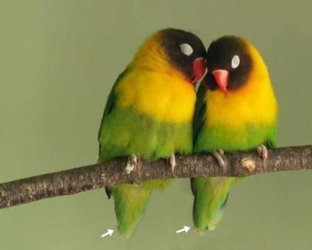 Bentuk ekor yang berbeda bisa dijadikan petunjuk bahwa burung tersebut sepasang
