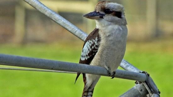 Burung kookaburra si burung bersuara ketawa