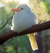 kookaburra albino