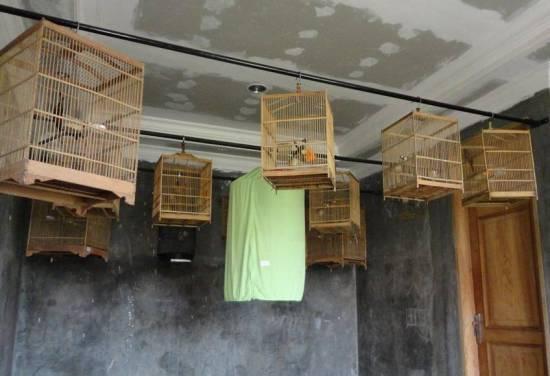 Pemasteran burung dalam ruangan seperti yang selama ini dilakukan oleh SKL BF