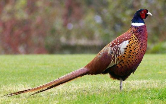 Pegar kalung atau Ringneck pheasant