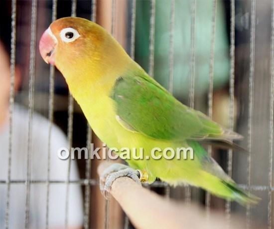 Lovebird Kayla