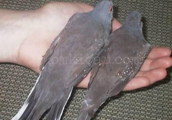 Warna punggung burung jantan (kiri) lebih terang dibanding burung betina yang cenderung kecoklatan