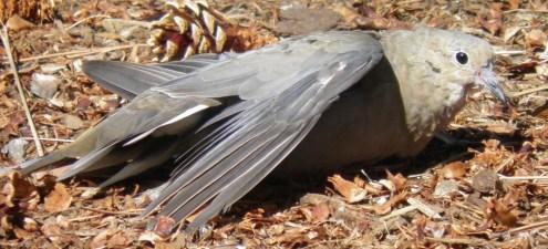 Sayap yang patah juga kerap dialami oleh burung liar bukan hanya burung peliharaan saja