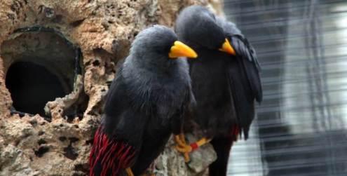 Jalak termasuk burung yang mudah dikembang biakan karena sifatnya