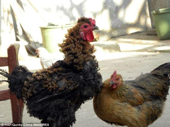 Pemilknya kini mencoba mengembang biakan ayam ini dengan harapan bisa mendapatkan keturunan yang sama sama berbulu keriting
