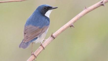 Berkecet Siberia atau Siberian blue robin