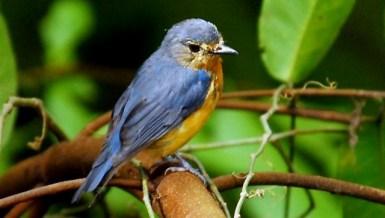 Burung sikatan bakau betina