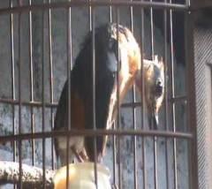 Selama mabung sebaiknya biarkan burung tidak mengeluarkan banyak aktifitas yang mengeluarkan energi
