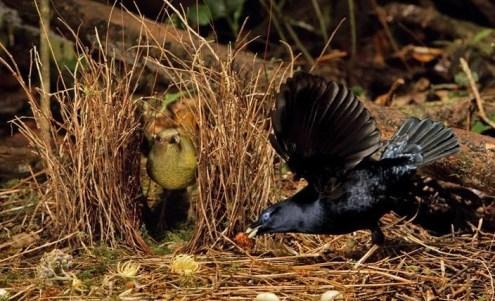 Tarian burung namdur atau bower bird untuk memikat hati calon pasangannya