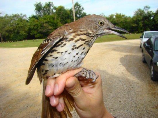 Termasuk burung jenis thrasher yang berukuran lebih besar dari burung sejenisnya