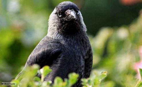burung jackdaw