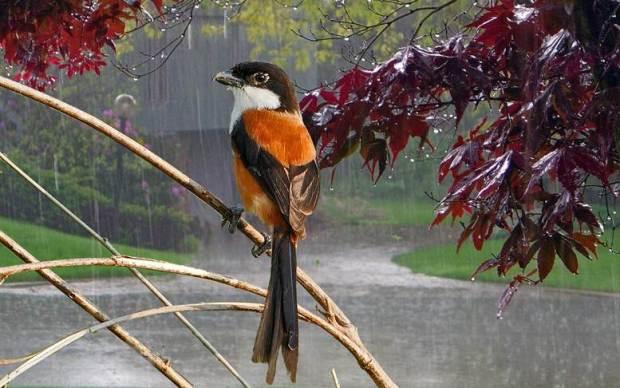 Perawatan cendet di musim hujan