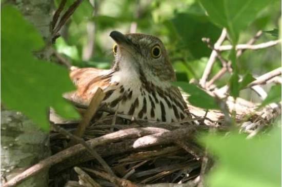 Burung betina mengerami telurnya di sarangnya yang tersembunyi