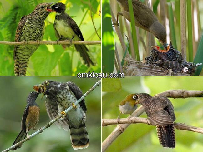 Burung parasit