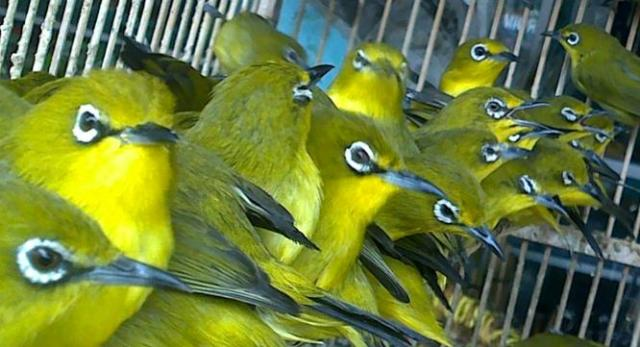 Pleci adalah burung koloni [foto:pcmi]