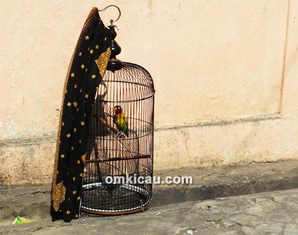 perawatan lovebird Solo