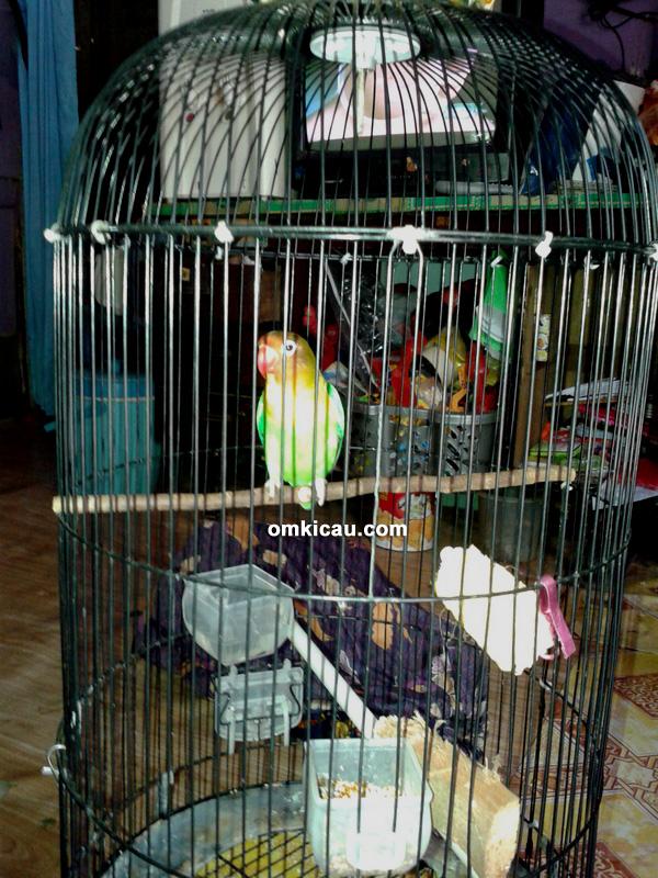 LOVEBIRD RCF