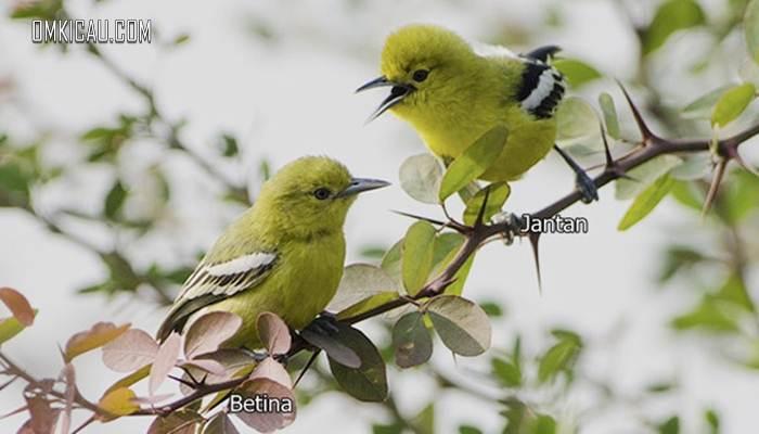 Sepasang burung cipoh kacat