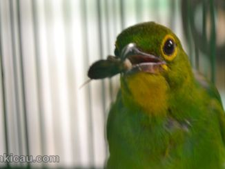 Tips menjinakkan cucak hijau yang masih giras