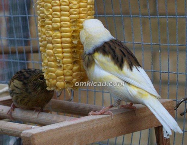 Kenari makan jagung