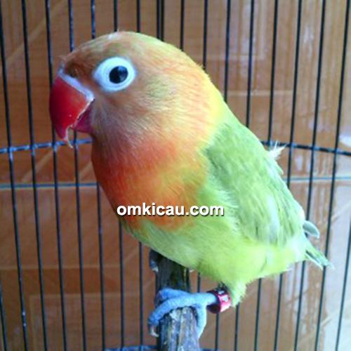 Lovebird Bima