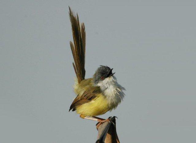 Burung prenjak rawa yang tengah berkicau