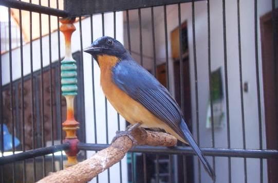 Burung tledekan atau sulingan