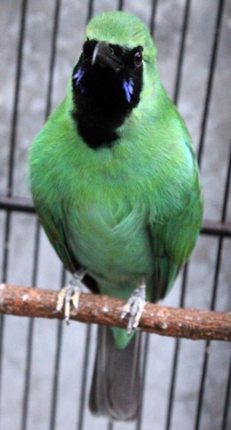 Cucak hijau Bomber