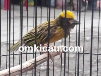 Perawatan dan pemasteran burung manyar