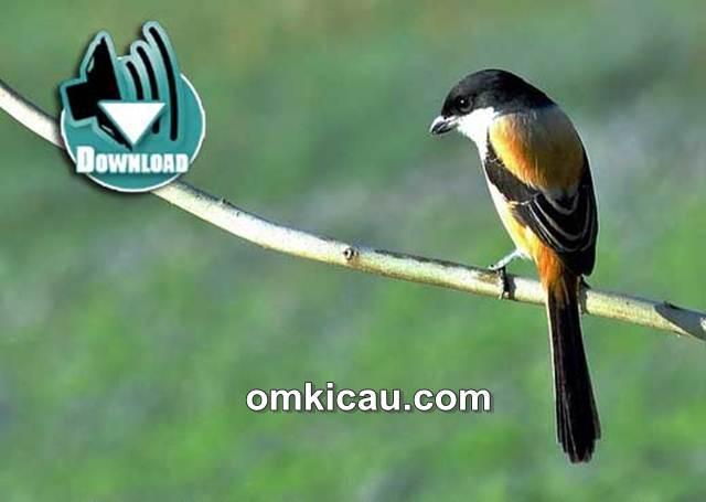 Suara kombinasi burung cendet untuk masteran