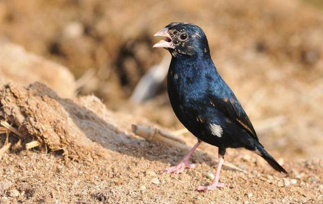 Village indigobird atau steelblue widowfinch (Vidua chalybeata) burung parasit yang bersuara merdu