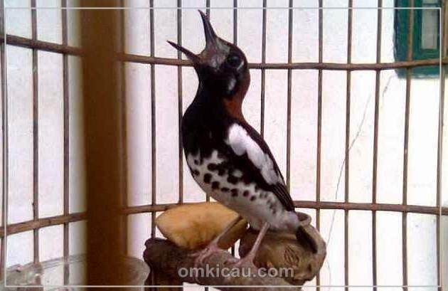 Memaksimalkan suara burung anis kembang