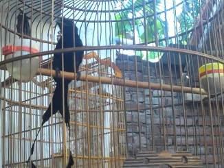 Cara merawat burung srigunting