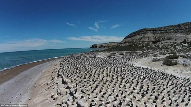 Burung cormorant