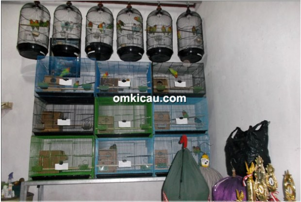 Breeding lovebird White BF - kandang battery