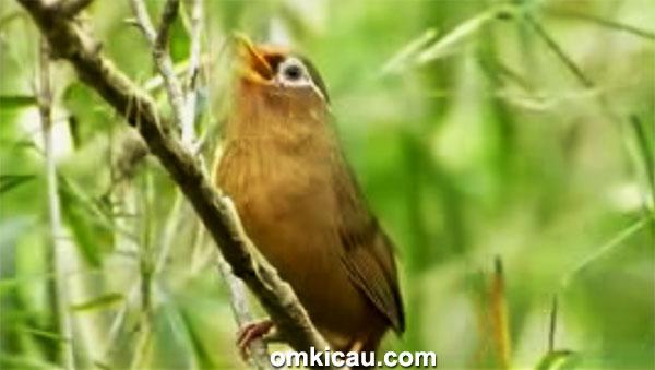 Audio kicauan burung hwamei
