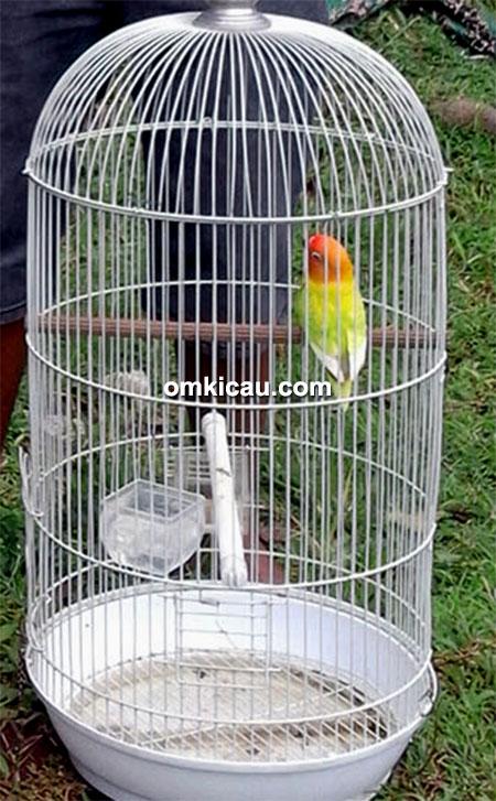 lovebird Idol