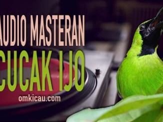Auido masteran untuk burung cucak hijau