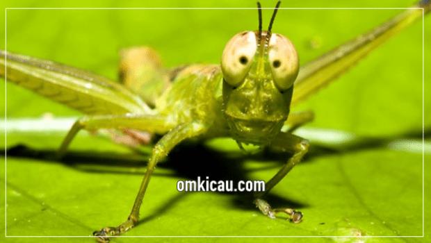 Belalang yang memiliki banyak khasiat bagi burung petarung