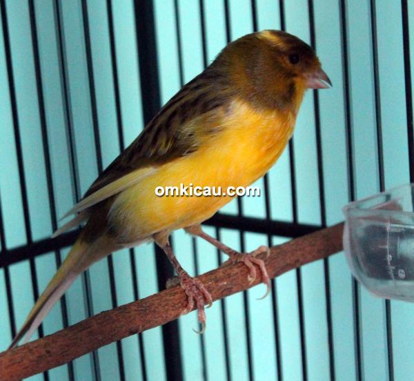 CBCL Canary - Kenari Peterpan